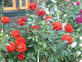 ログハウスとバラ